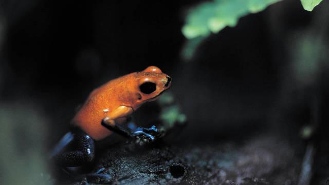 poison-dart-frog-dendrobates-pumilio-tortuguero-national-park-costa-rica