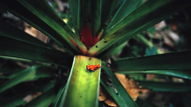 dart-poison-frog-dendrobates-pumilio-bocas-del-toro-panama